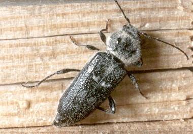 insectes bois d sinsectisation traitement capricorne vrillette termite m rule. Black Bedroom Furniture Sets. Home Design Ideas